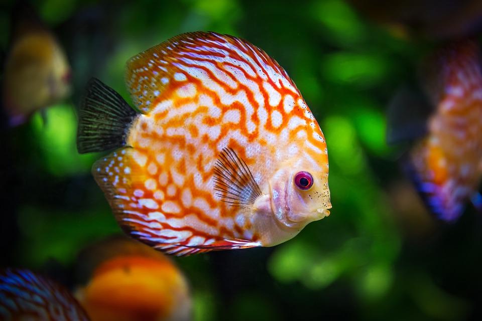 pez agua limpia, pez agua clara